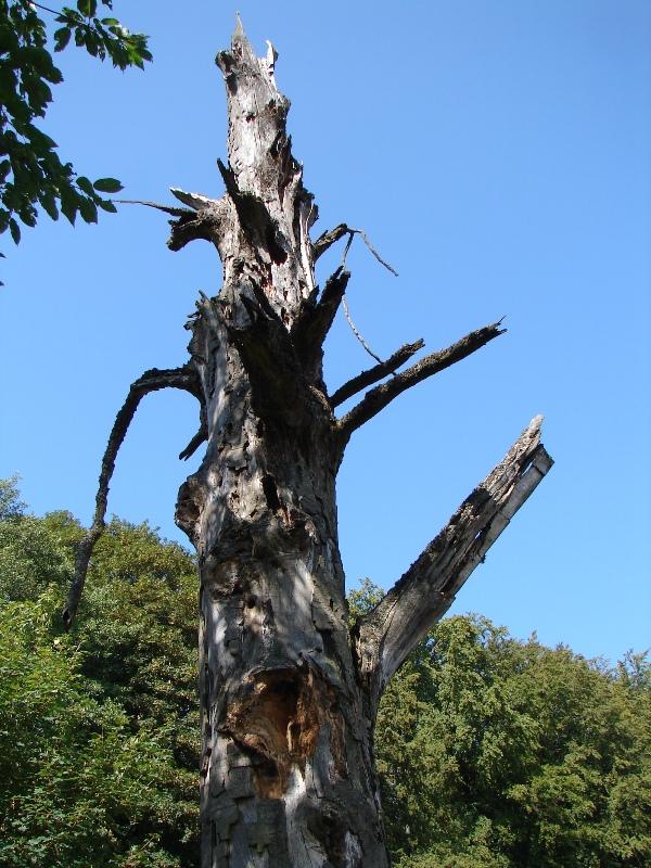 Totholz stellt vergleichsweise seltene aber dennoch wertvolle Lebensräume für verschiedenste Tierarten dar. Totholzbewohnende Käfer nutzen ein breites Spektrum dieses Lebensraums (Foto: J.Gombert)