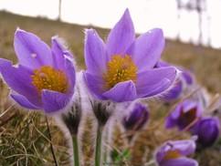 Drei violette Küchenschellen sind in Nahaufnahme sichtbar