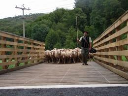 jetzt kann die Schafherde die Felda sicher überqueren, um Weidegebiete auf der anderen Seite zu erreichen