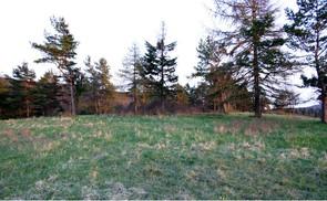Bild der Fläche mit Verbrachung - in Form von überständigen Altgras sichtbar - und Waldkiefern, die den Halbtrockenrasen beschatten