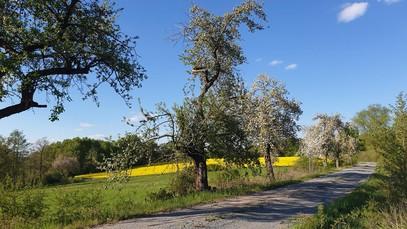 Obstbäume, als Allee