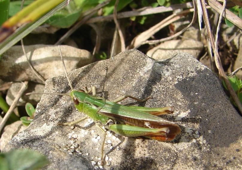 Der Heidegrashüpfer (Stenobothrus lineatus) ist ein typischer Vertreter der Magerrasen. Die Art stellt eine Leitart für das Projektgebiet dar. Neben der typischen Grünfärbung findet man beim Heidegrashüpfer häufig lila bis violette Farbvarianten.