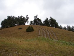 Auf der Kuppe eines Kalkmagerrasen-Hügels sind viele große Waldkiefern zu sehen