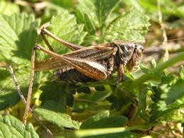 Die Westliche Beißschrecke (P. albopunctata)