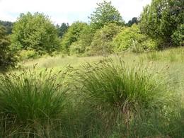 Das Bild zeigt einen Ausschnitt der Fläche an einem schönen Junitag 2010, mit bultig ausgeprägten Seggen und blühenden Orchideen.