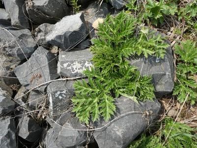 Nur wenige Meter weiter zeigen sich schon viel größere Blätter einer mehrjährigen Pflanze