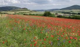In direkter Nachbarschaft zum Lämmerberg befindet sich der Wildkraut-Schutzacker bei Wohlmuthausen. Hier ist der Juniblühaspekt mit blau blühendem Rittersporn und aspektbestimmenden rotem Mohn ausgewählt.