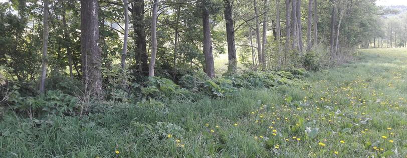 Riesenbärenklau-Neubestand am Apfelbach