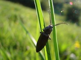 Ein Schnellkäfer (Elateridae)