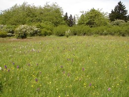 Nach Abschluss der Pflegearbeiten über das NSGP übernahm das Forstamt Kaltennordheim die jährliche Mahd. Die Fläche präsentierte sich 2014 sehr blütenreich.