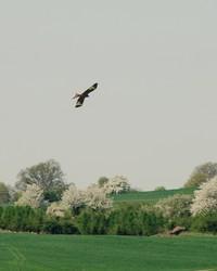 über eine Wiese fliegender Rotmilan bei Roßdorf, im Hintergrund befinden sich blühende Heckenstrukturen (Foto: J. Gombert)