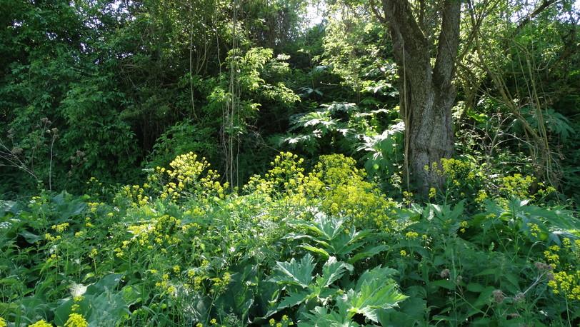Riesenbärenklau und Orientalisches Zackenschötchen in mitten von heimischer Flora