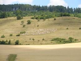 Auf dem Bild ist ein schöner Spätsommeraspekt des Südhangs der Hohen Geba zu sehen. Auf den Hutungen befindet sich gerade ein Schafherde mit weißen Merinoschafen.