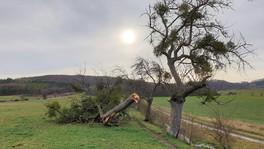 Misteln im Apfelbaum - Gewicht lässt Baum bersten