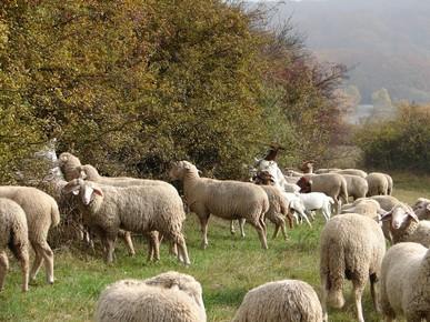 Zusätzlich wurde die Erweiterung der Schafherden mit Ziegen fortgesetzt (Foto: LPV)