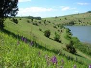 Diese Bild zeigt dieselben Flächen nach Ausdünnung des Wacholders und Entfernung der Kiefernsukzession. Die Flächen werden mit Schafen beweidet, wobei Orchideen - wie hier das violett blühende Stattliche Knabenkraut (O. mascula)  - während der Blüte