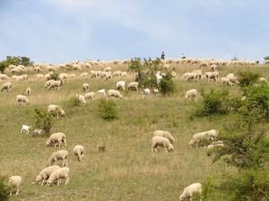 Schafe beweiden seit Jahrhunderten die Hutungen der Rhön. Das Mitführen von Ziegen bringt einen besseren Verbiss der Gehölze mit sich.