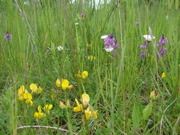 Blühaspekt mit Hufeisenklee (H. comosa)
