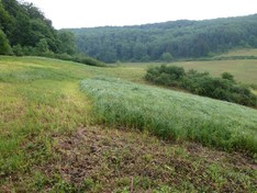 """Das Bild zeigt den oberen Bereich des """"Quellmoor Seeba"""" direkt nach der Mahd 2010. Ca. ein Viertel der Fläche wurde belassen, hier sieht man gut wie domiant die Sumpf-Segge (C. acutiformis) ist."""