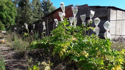Riesenbärenklau-Pflanzen mit teilweise entfernten Samenständen; der noch vorhandene Teil der Hauptdolde wurde mit einer Tüte verpackt, damit die Samen nicht ausfallen konnten
