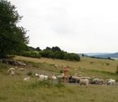 eine Schafherde nutzt die Tränkeinrichtung mit Sandsteinbecken
