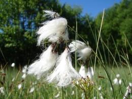 Großaufnahme des Breitblättrigev Wollgrases (E. latifolium).